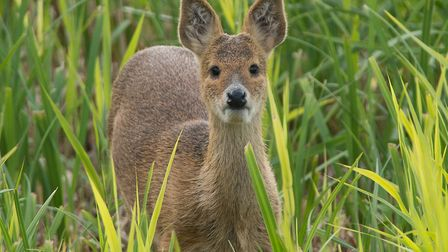 Chinese Water Deer fawn. Picture: Brian Shreeve