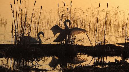 Swan silhouettes. Picture: Frances Crickmore