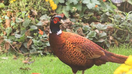 This lovely cock pheasant decided to pay our garden a visit. Picture: Richard Brunton
