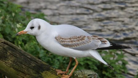 This gull was preparing to fly at Pensthorpe. Picture: Martin Sizeland