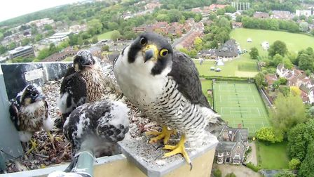 Peregrines nesting at Norwich Cathedral. Photo: Chris Skipper/Andy Thompson