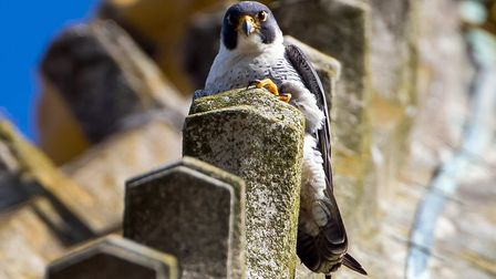 Peregrines nesting at Norwich Cathedral. Photo: Chris Skipper