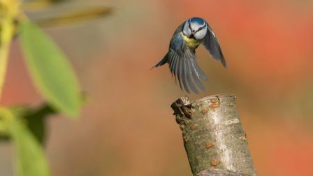Blue tit visiting my garden. Picture: Brian Shreeve