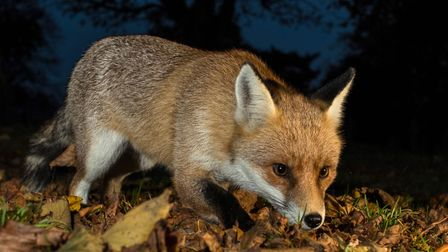 A beautiful red fox. Picture: Frances Crickmore
