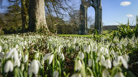 The snowdrop walk at Walsingham Abbey. Picture: Matthew Usher.