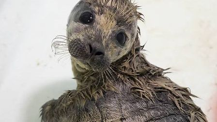 Rumba the seal is recovering well. Picture: Hunstanton Sea Life Sanctuary