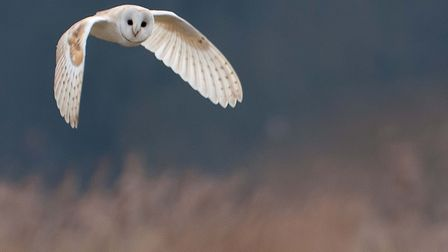 The Hawk and Owl Trust gets £100,000 for Sculthorpe Fen Appeal. A barn owl. Pictures: Richard Saxton