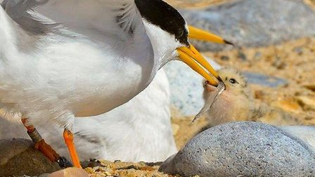 Little tern feeding their young after breeding in Norfolk. Picture: Kevin Simmonds/RSPB