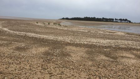The beaches around Wells on the north Norfolk coast are a popular breeding spot for little terns aft