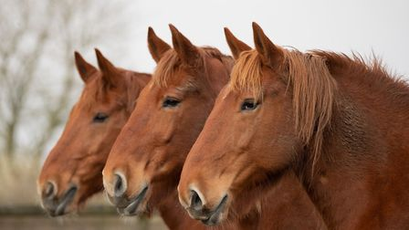A trio of Gressenhall Farm and Workhouse's Suffolk Punches. Picture: SARAH DARNELL