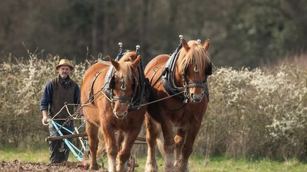 Suffolk Horses, usually known as Suffolk Punches, working the land at Gressenhall Farm and Workhouse