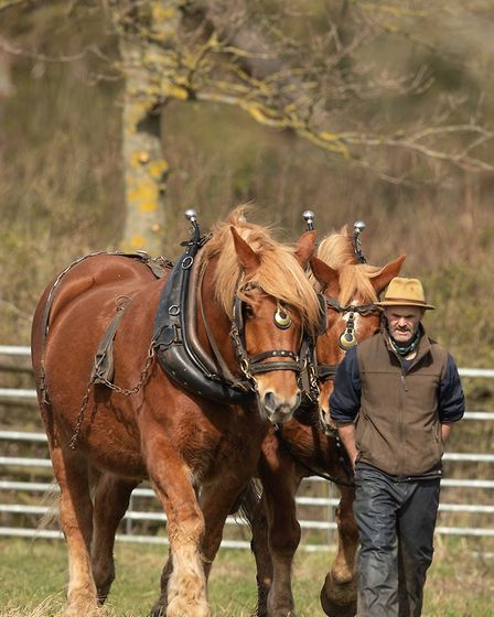 Suffolk Punches at Gressenhall Farm and Workhouse in Norfolk. Picture: SARAH DARNELL
