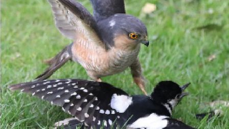 Battle between great spotted woodpecker and male sparrowhawk in Thursford garden. Picture: Grahame@C