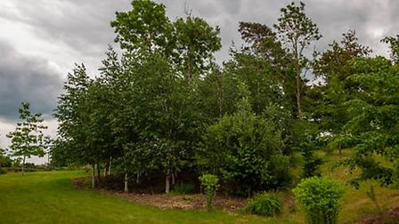 A birch stand at the site of the unofficial village tip in Swannington. Picture: Sheila Foster-Hanco