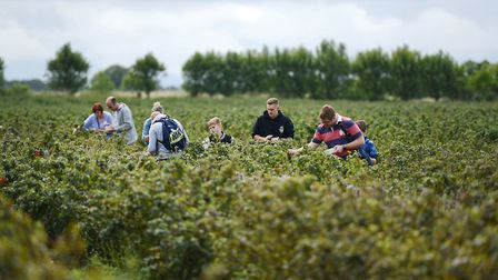 Thousands of blackcurrants were picked as the annual harvest begins across the UK. Pictures: Rosie B