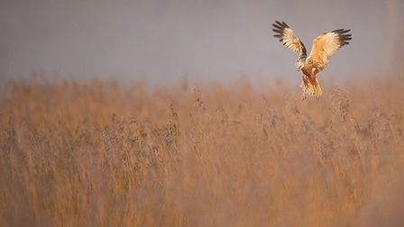 A male marsh harrier in the mist at Sculthorpe Moor. Picture: Andrew Parkinson