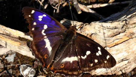The purple emperor butterfly has returned to Norfolk's largest ancient woodland. Picture: Mike Gasso