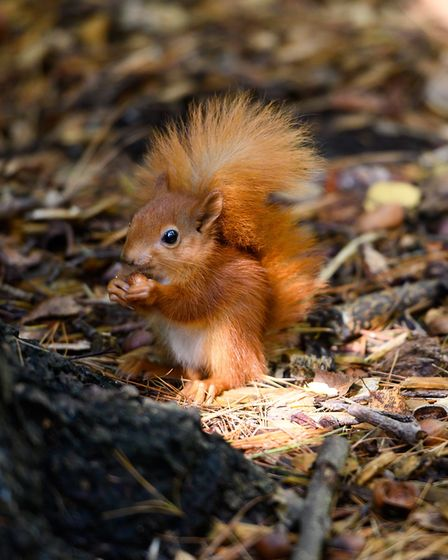One of the unnamed squirrel kittens, roughly seven weeks old, in its habitat PICTURE: Steve Adams