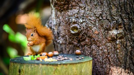 One of the red squirrels born in early August, exploring its habitat for one of the first times PICT