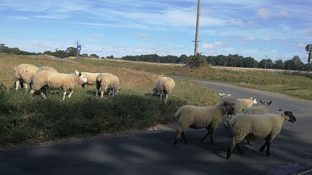 Police had to be called after sheep were found on the loose between Bawdeswell and Reepham. Picture: