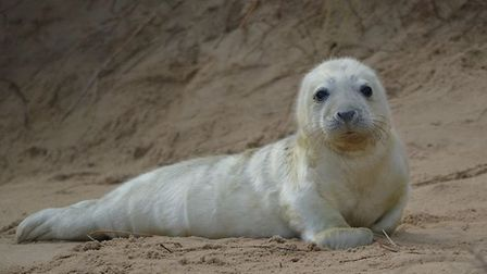 Ms Kerr said that in August so far, the group have received four calls about baby seals on Horsey be