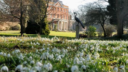 Spectacular snowdrops in the gardens of Raveningham Hall.