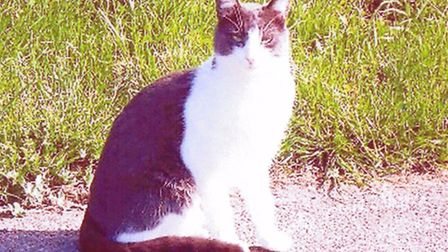 Missing cat Tommy.