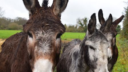 Some of the donkeys at Blossoms Rescue Centre in Kirby Cane.
