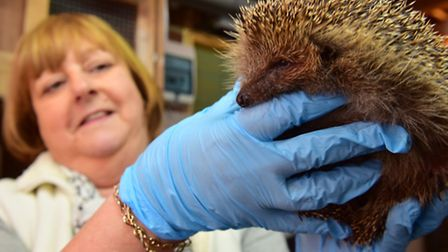Jayne Moore from Greenstead Hedgehog rescue centre is appealing for people to donate cat food. PHOT