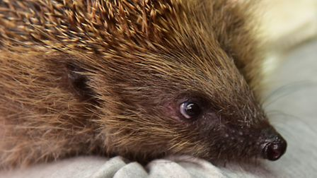 One of the hedgehogs being looked after at Greensted Hedgehog rescue. PHOTO: Nick Butcher