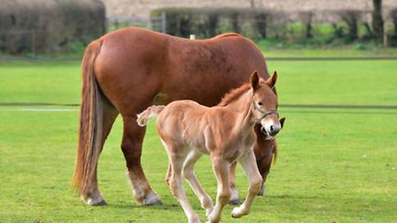 Charlie, the Suffolk Punch foal in a field with his mother, Trinity Bea. PHOTO: Nick Butcher