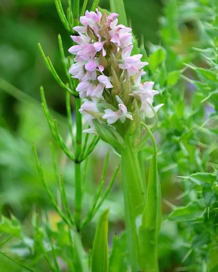 An Early Marsh Orchid at the meadow, which trust members are trying to protect. Picture: Andrew Atte