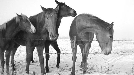 Horses in the snow in Ellingham, 31st January 1972. Photo: Archant Library