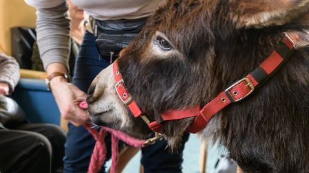 Miniature Donkeys for Wellbeing at All Hallows. Picture: All Hallows