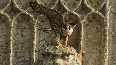 The chairman of Waveney Bird Club hopes the Bungay falcon will find a mate in Spring 2018. Picture: