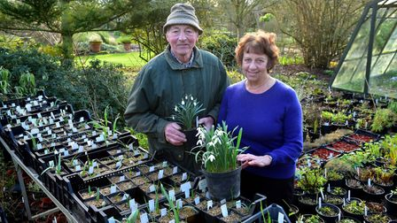 John and Brenda Foster preparing for their annual Snowdrop Day at their Redisham home.