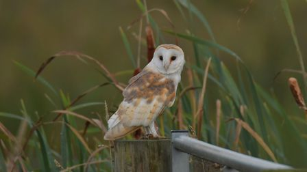 A barn owl at rest on Suffolk Wildlife Trust's Carlton Marshes nature reserve. Picture: GAVIN DURRAN