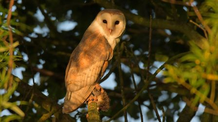 A barn owl with prey on Suffolk Wildlife Trust's Carlton marshes nature reserve. Picture: GAVIN DURR