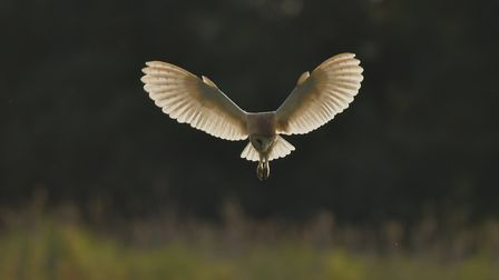 A barn owl hunts at dusk on Suffolk Wildlife Trust's Carlton Marshes nature reserve. Picture: GAVIN