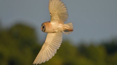 A barn owl takes flight at Suffolk Wildlife Trust's Carlton marshes nature reserve. Picture: GAVIN D