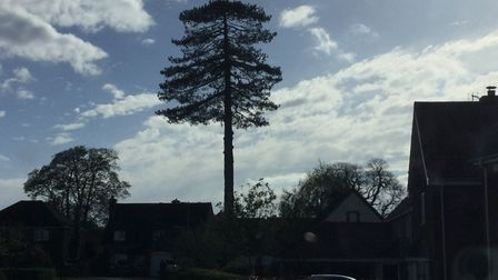 The tree in Worlingham after the first day's work to fell it. Picture: Paul Chapman