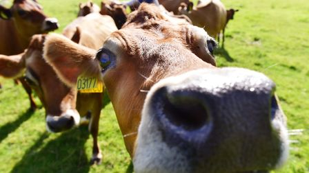 The cows at Old Hall Farm in Woodton. Picture: Nick Butcher.