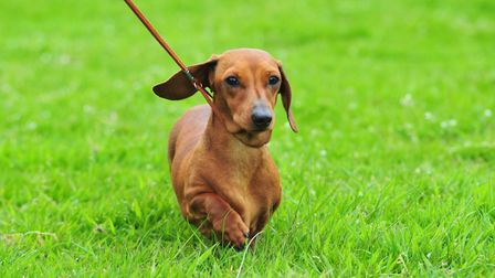 A dog show is being held at Beccles Free School. Picture: Archant library.