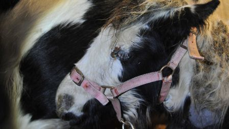 Bowie was a very sickly foal when rescued in January 2016. Picture: Redwings Horse Sanctuary