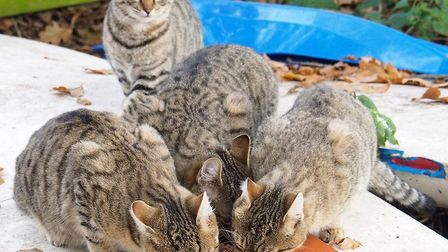 Emmaus Norfolk and Waveney, in Ditchingham, has taken in five identical stray kittens. Picture: Emma