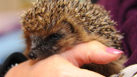 One of the hedgehogs Jayne Moore looks after. Picture by: Sonya Duncan