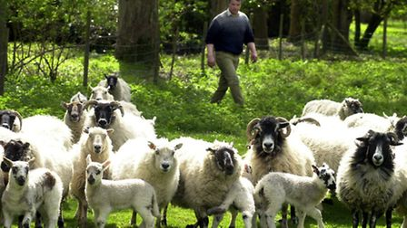 Benacre sheep farmer Tim Crick with his flock of sheep and their lambs