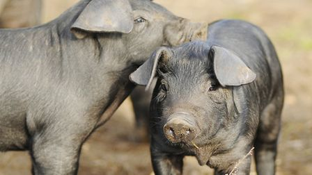 Pig production costs are narrowing, says report