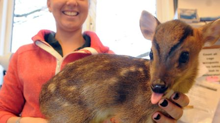Centre Manager Amber Chamberlain holds the baby Muntjac deer at Wildlives in Thorrington.