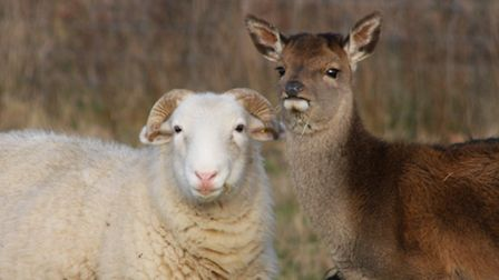 A little red deer has been living with a flock of sheep on Dunwich Heath.